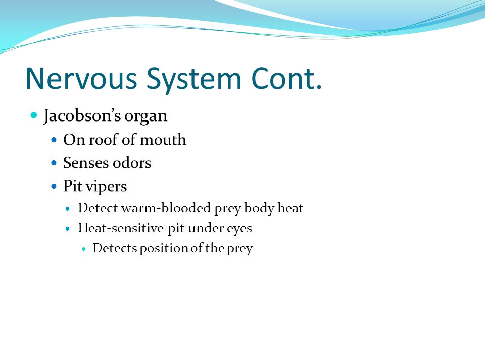 Nervous System Cont. Jacobson's organ On roof of mouth Senses odors