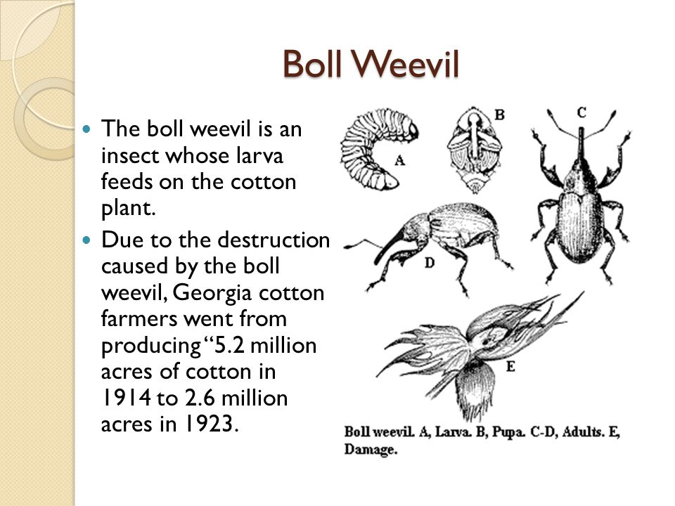 Boll Weevil The boll weevil is an insect whose larva feeds on the cotton plant.