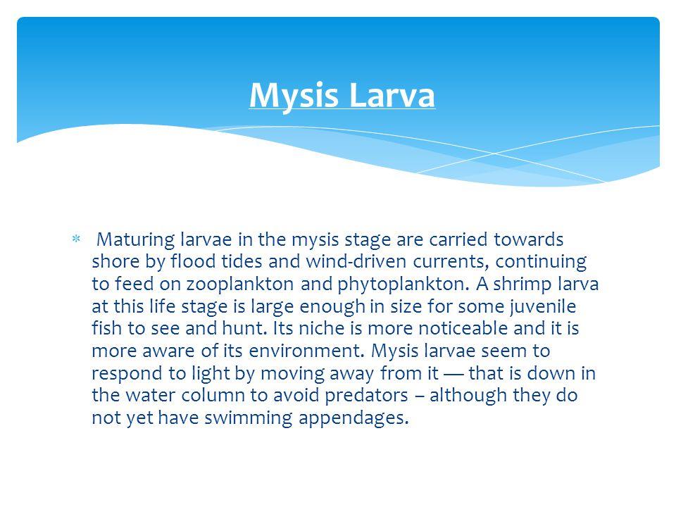 Mysis Larva