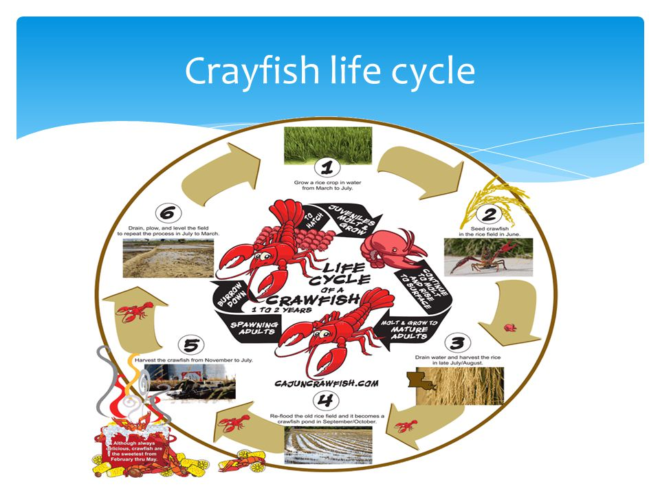 Crayfish life cycle