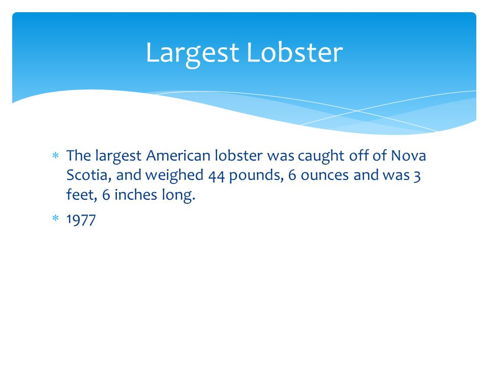 Largest Lobster The largest American lobster was caught off of Nova Scotia, and weighed 44 pounds, 6 ounces and was 3 feet, 6 inches long.