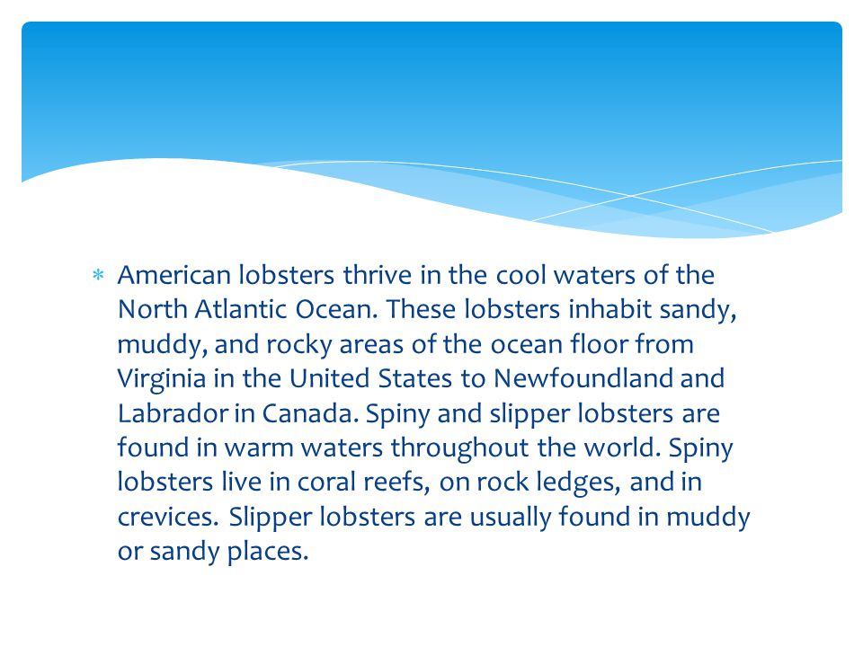 American lobsters thrive in the cool waters of the North Atlantic Ocean.
