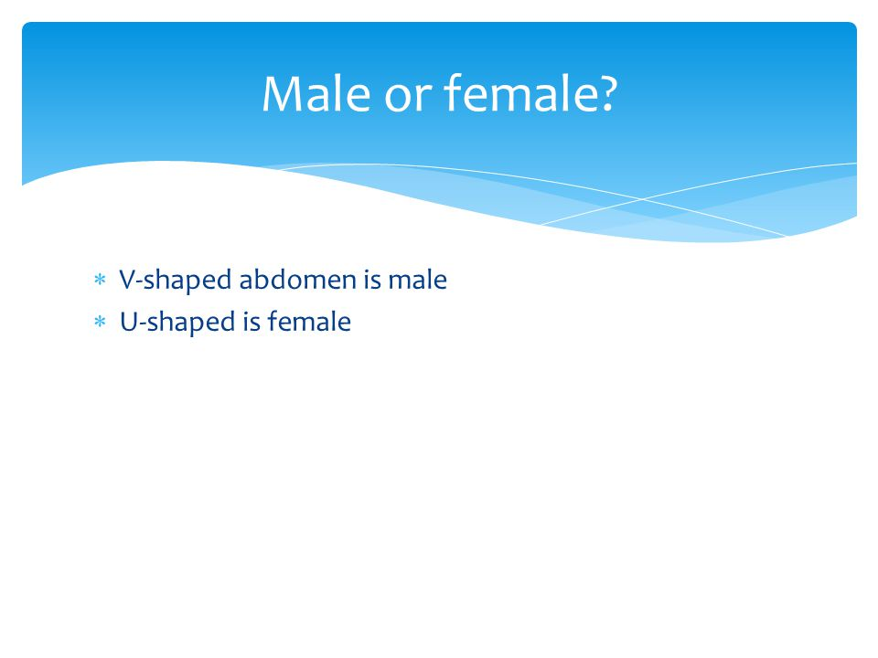 Male or female V-shaped abdomen is male U-shaped is female