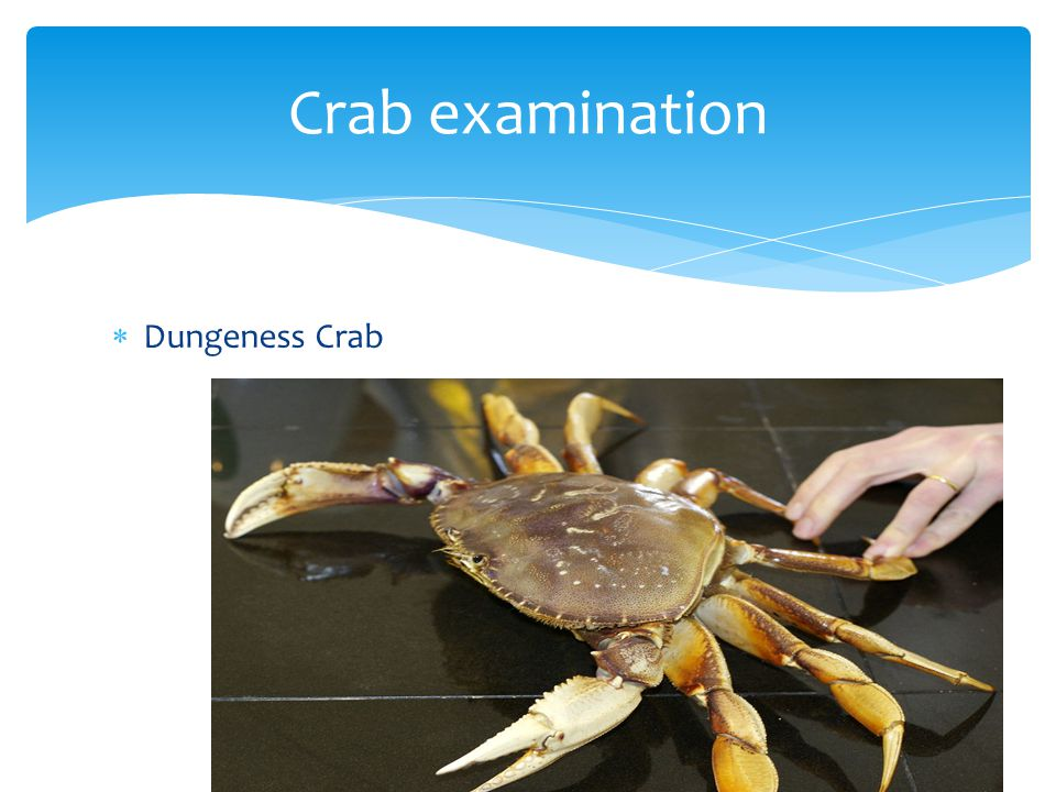 Crab examination Dungeness Crab