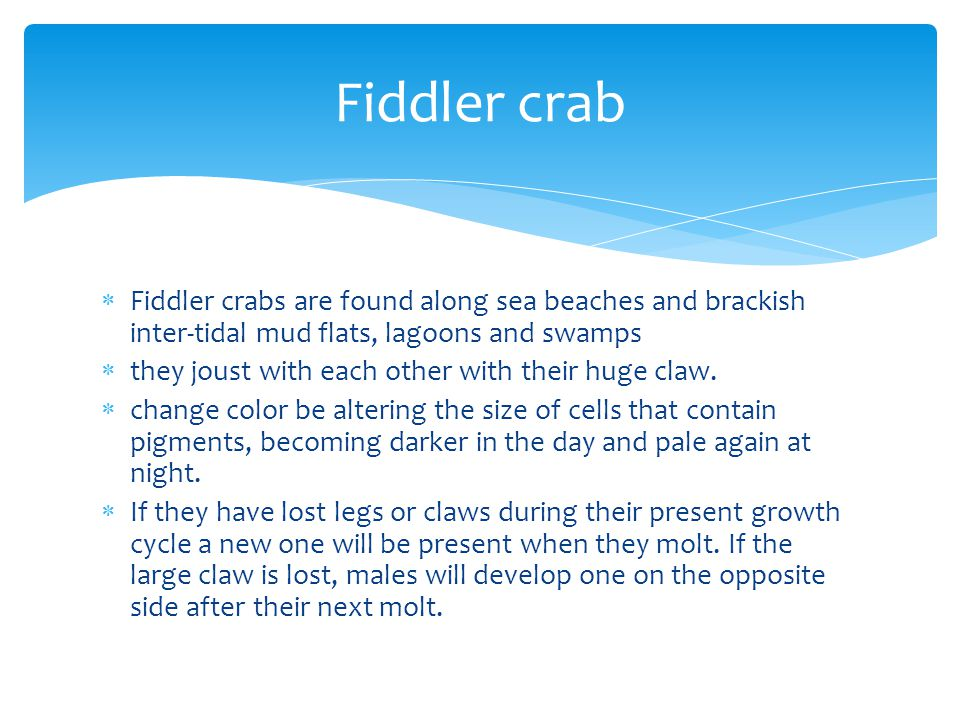 Fiddler crab Fiddler crabs are found along sea beaches and brackish inter-tidal mud flats, lagoons and swamps.