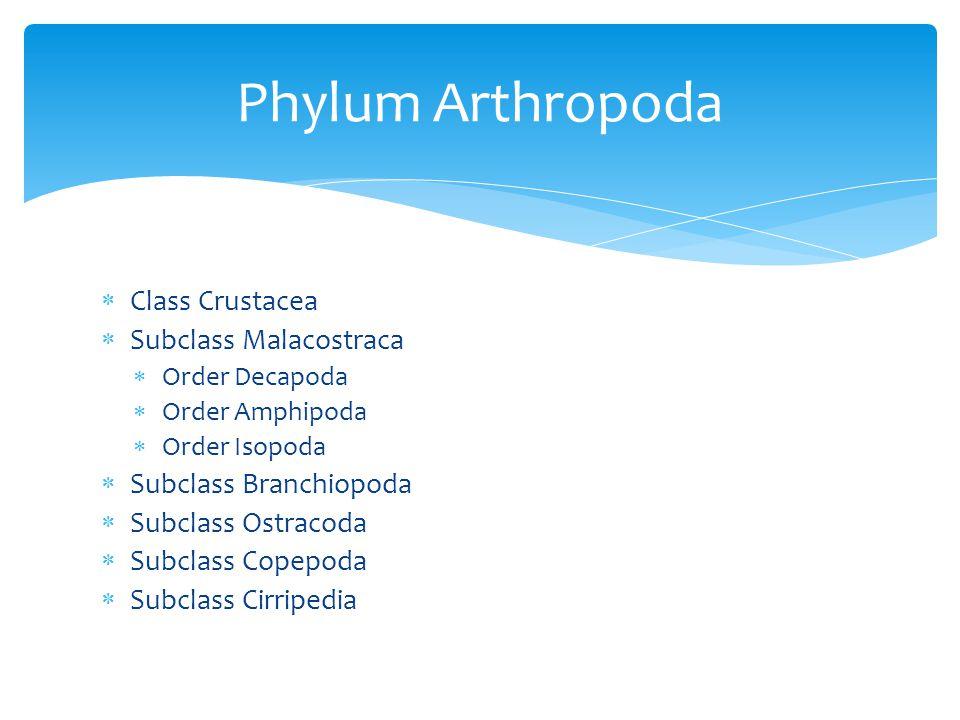 Phylum Arthropoda Class Crustacea Subclass Malacostraca