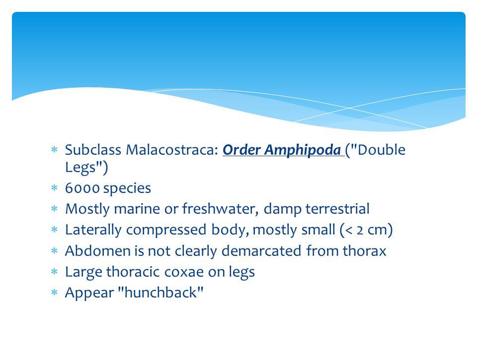 Subclass Malacostraca: Order Amphipoda ( Double Legs )