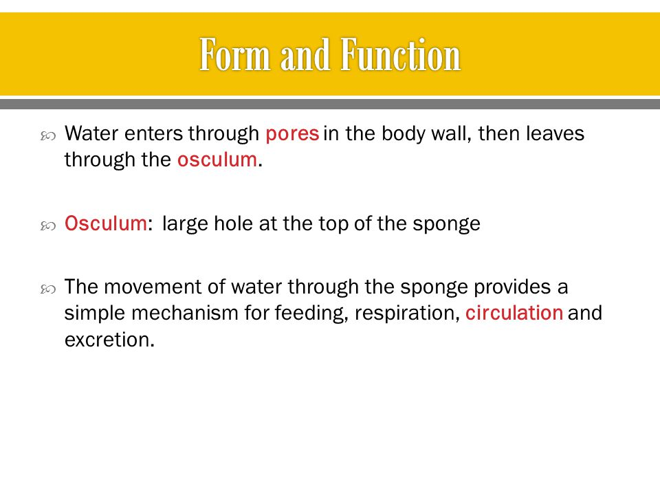 Form and Function Water enters through pores in the body wall, then leaves through the osculum. Osculum: large hole at the top of the sponge.