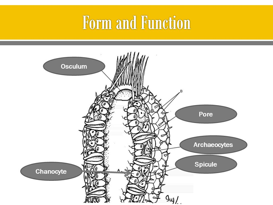 Form and Function Osculum Pore Archaeocytes Spicule Chanocyte