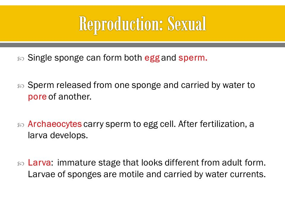 Reproduction: Sexual Single sponge can form both egg and sperm.