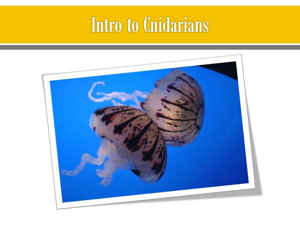 Intro to Cnidarians