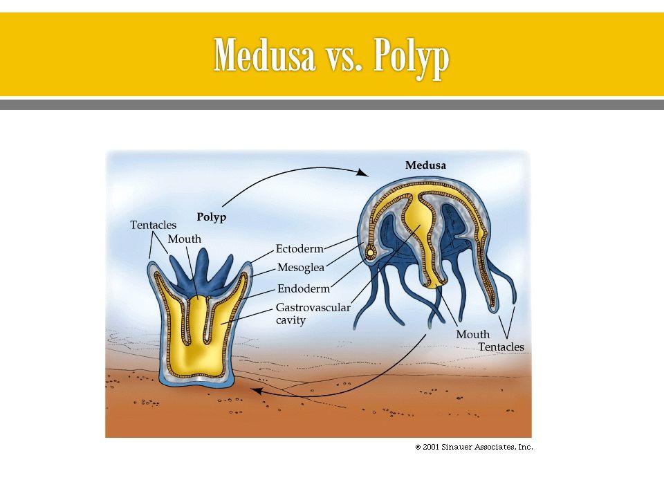 Medusa vs. Polyp
