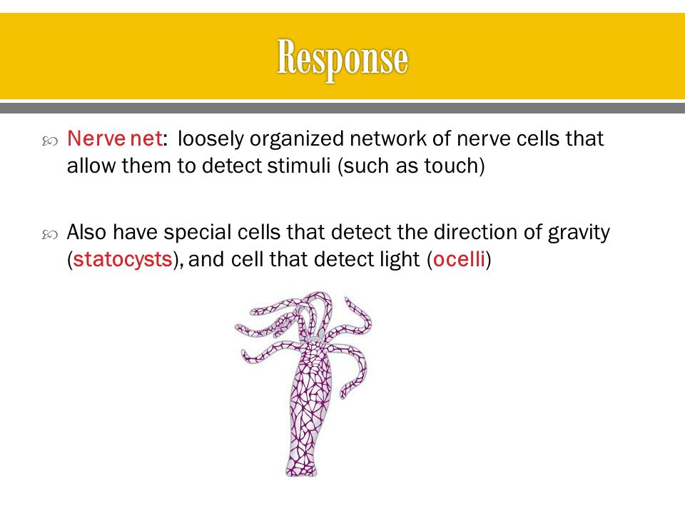 Response Nerve net: loosely organized network of nerve cells that allow them to detect stimuli (such as touch)