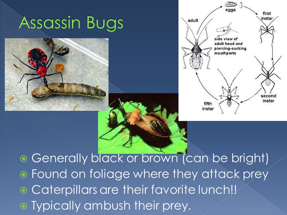 Assassin Bugs Generally black or brown (can be bright)
