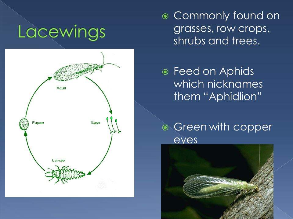 Lacewings Commonly found on grasses, row crops, shrubs and trees.