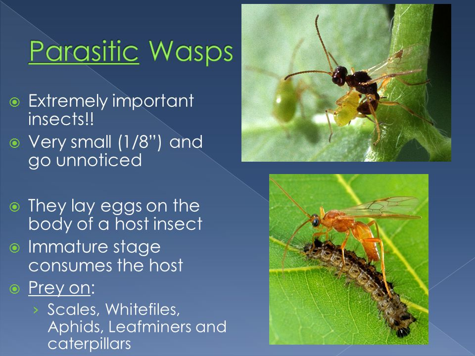 Parasitic Wasps Extremely important insects!!