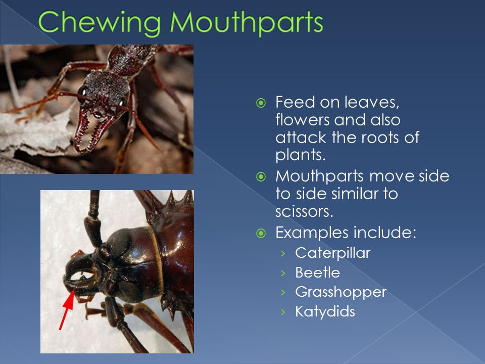 Chewing Mouthparts Feed on leaves, flowers and also attack the roots of plants. Mouthparts move side to side similar to scissors.