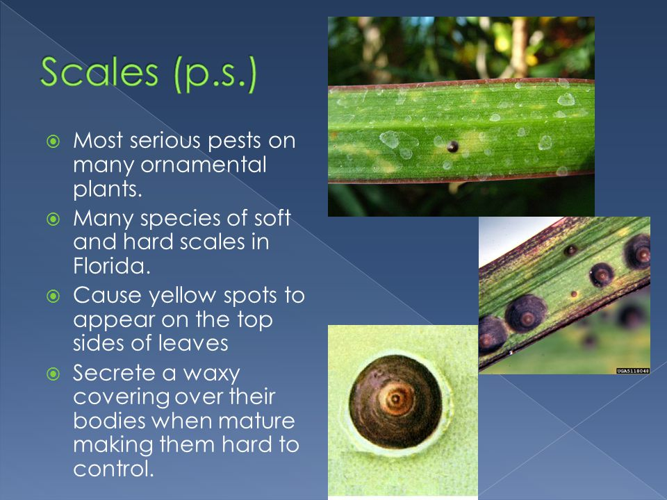 Scales (p.s.) Most serious pests on many ornamental plants.