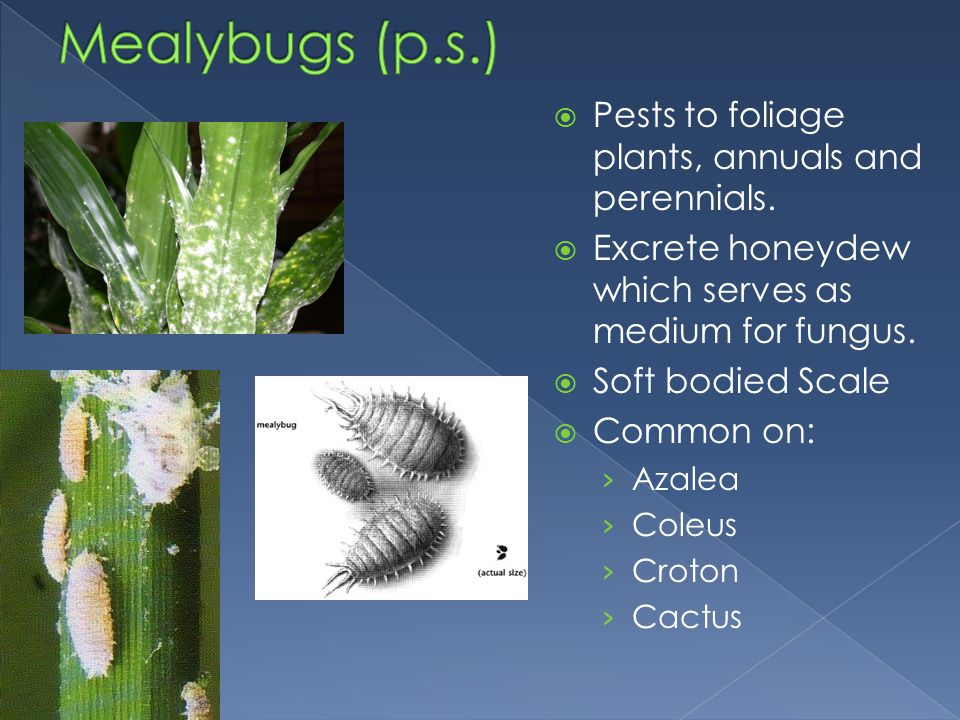 Mealybugs (p.s.) Pests to foliage plants, annuals and perennials.