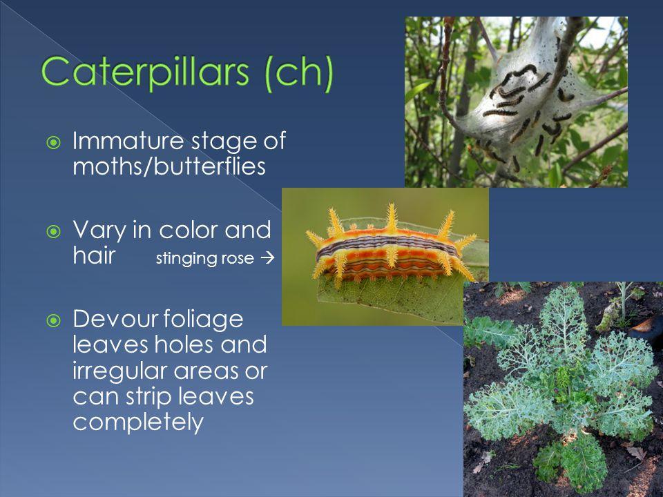 Caterpillars (ch) Immature stage of moths/butterflies
