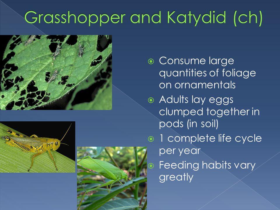 Grasshopper and Katydid (ch)