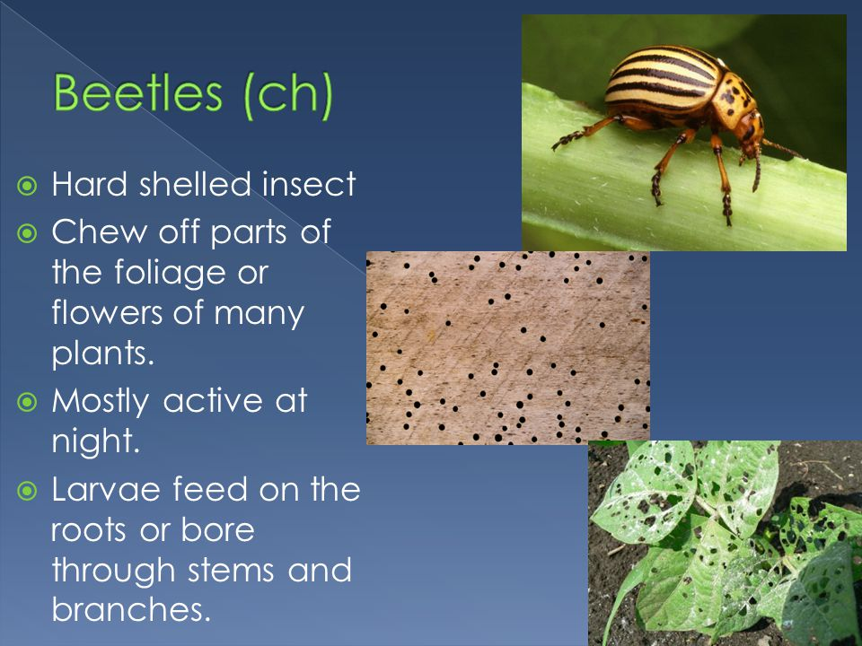 Beetles (ch) Hard shelled insect