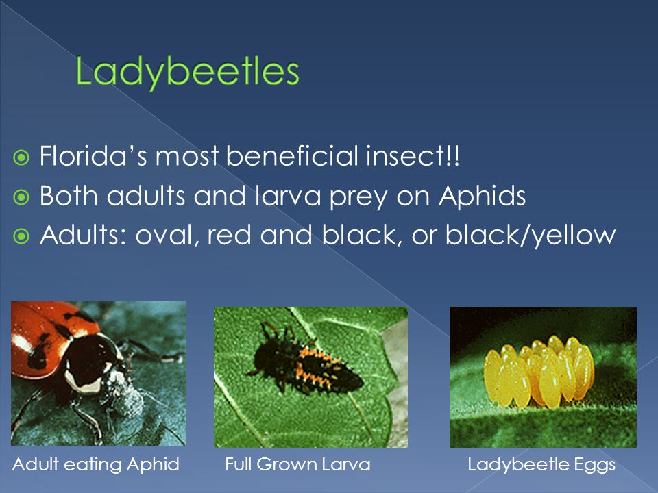 Ladybeetles Florida's most beneficial insect!!