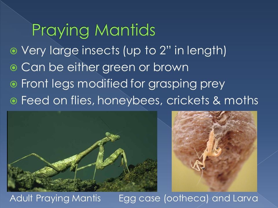 Praying Mantids Very large insects (up to 2 in length)