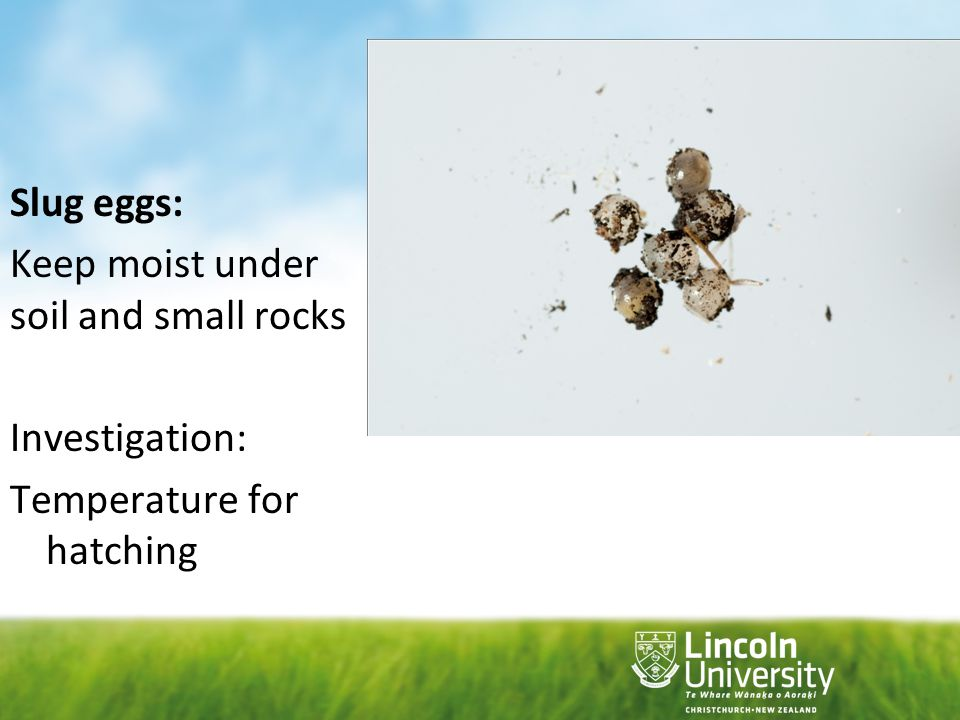 Slug eggs: Keep moist under soil and small rocks Investigation: Temperature for hatching