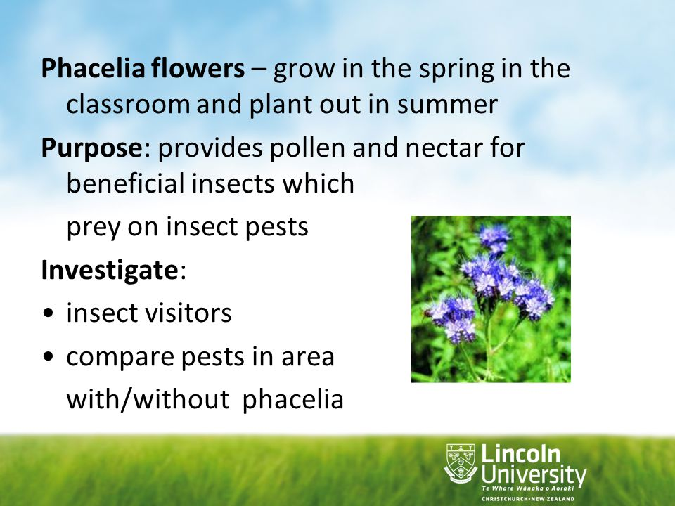 Phacelia flowers – grow in the spring in the classroom and plant out in summer