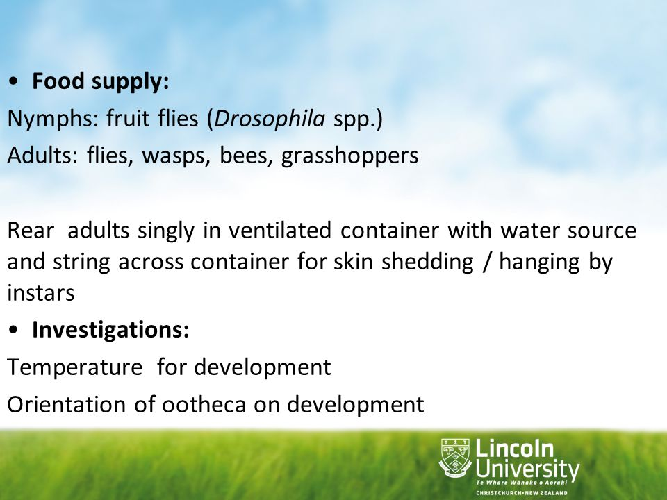 Food supply: Nymphs: fruit flies (Drosophila spp.) Adults: flies, wasps, bees, grasshoppers.