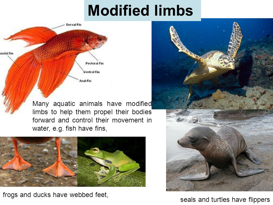 Modified limbs