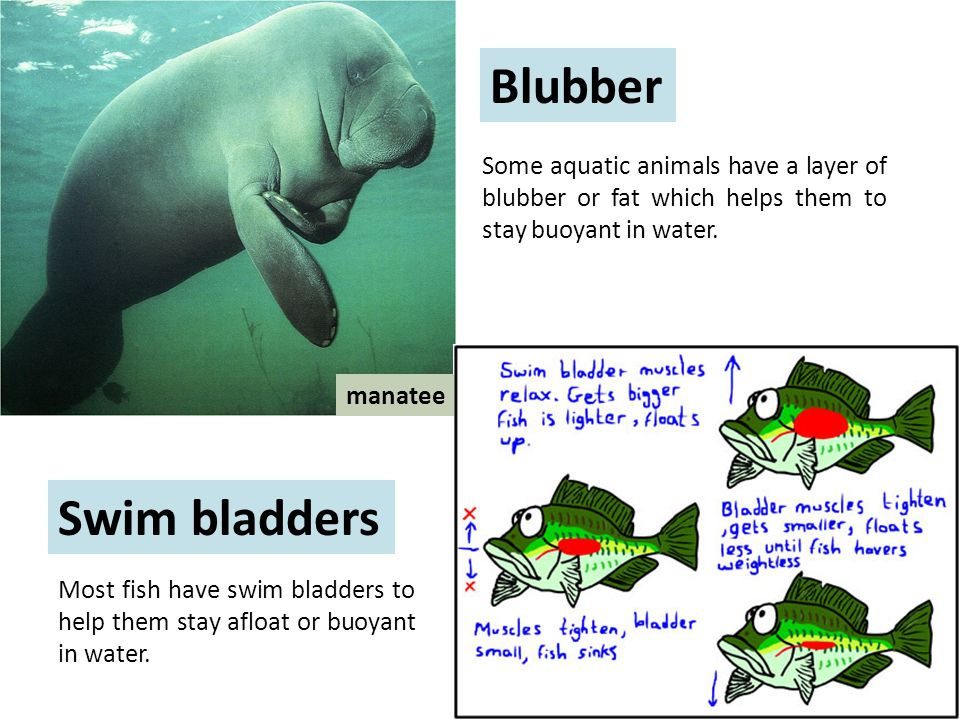 Blubber Some aquatic animals have a layer of blubber or fat which helps them to stay buoyant in water.