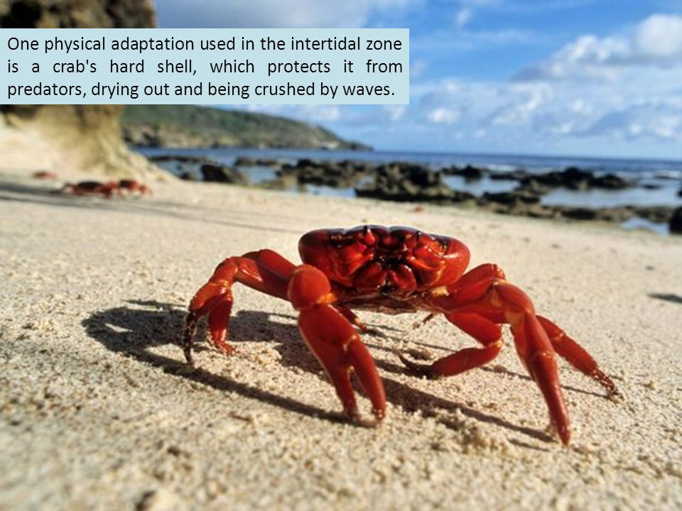 One physical adaptation used in the intertidal zone is a crab s hard shell, which protects it from predators, drying out and being crushed by waves.