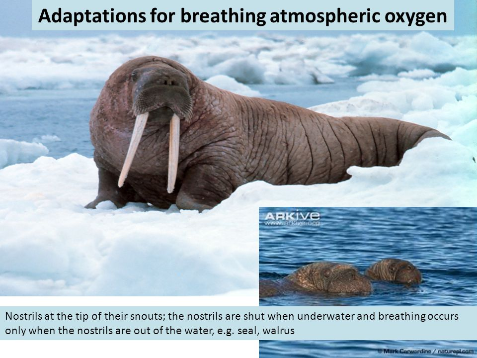 Adaptations for breathing atmospheric oxygen