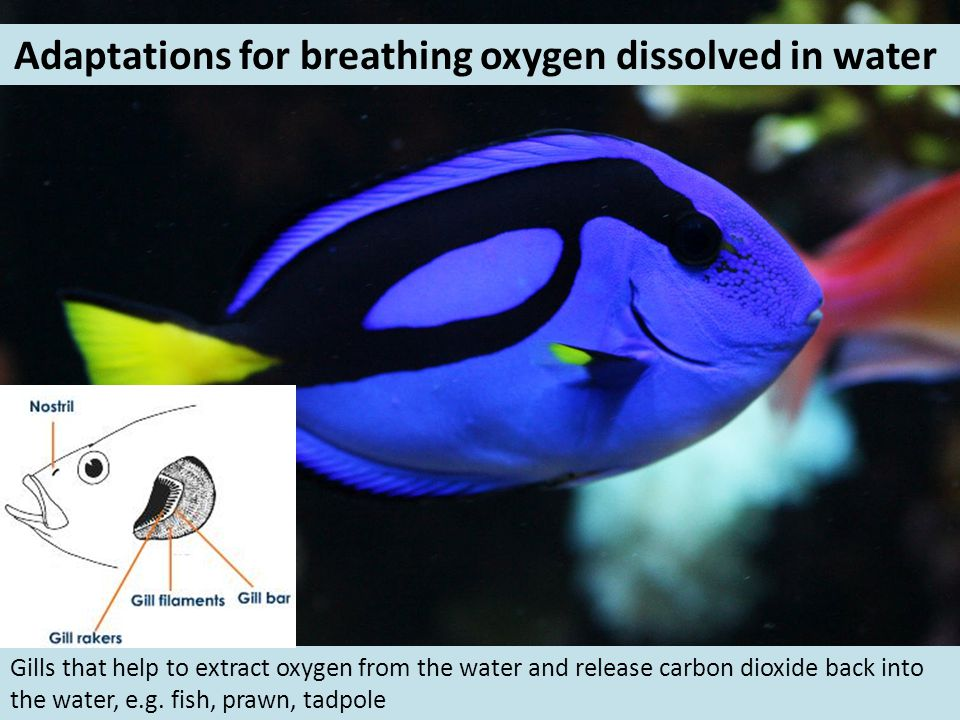 Adaptations for breathing oxygen dissolved in water