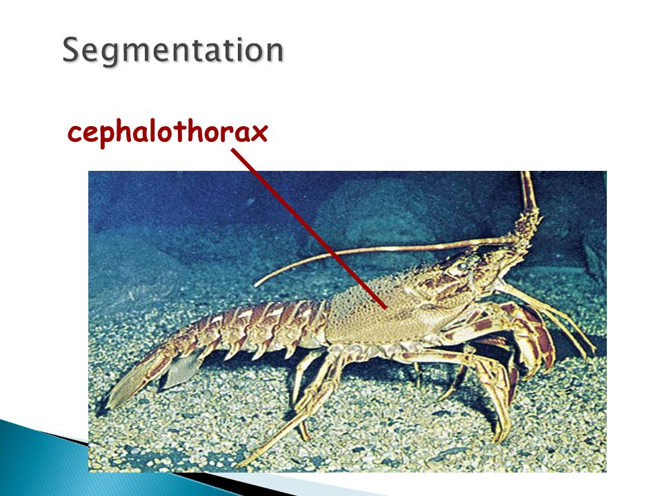 Segmentation cephalothorax copyright cmassengale