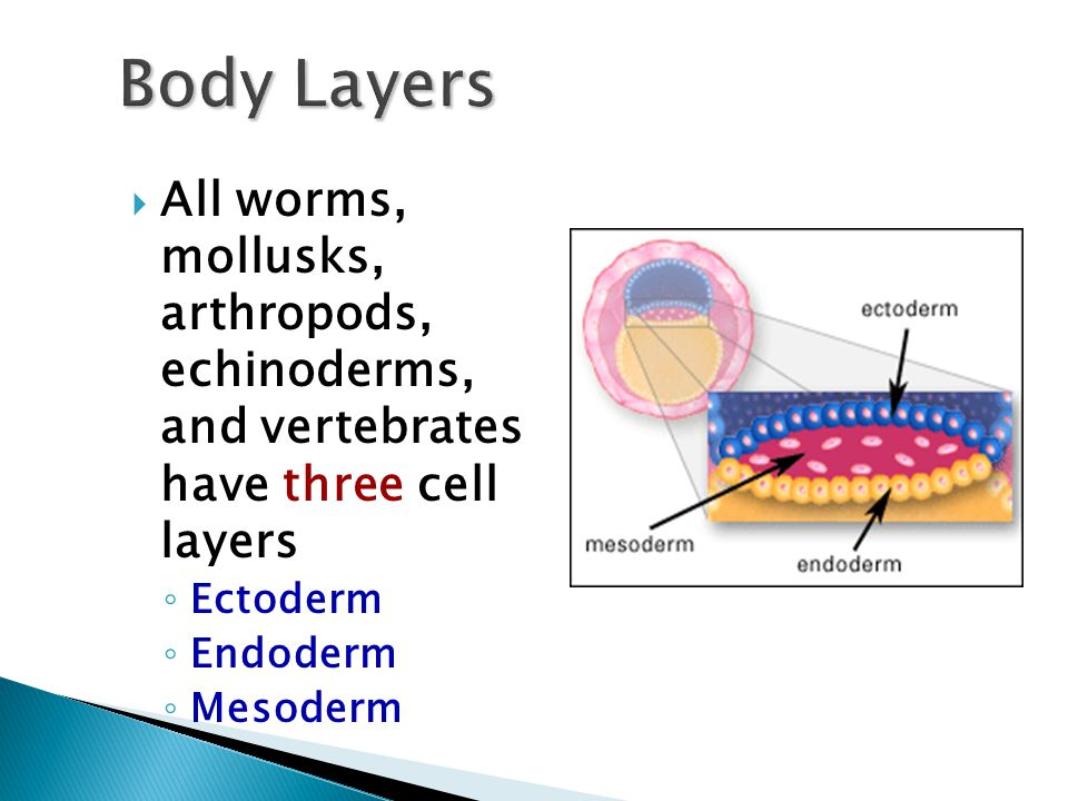 Body Layers All worms, mollusks, arthropods, echinoderms, and vertebrates have three cell layers.