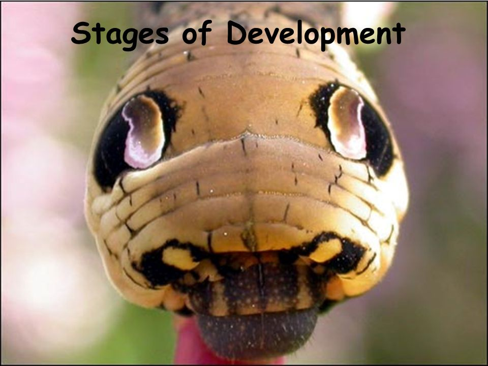 Stages of Development copyright cmassengale