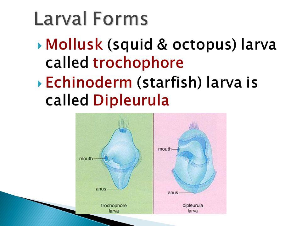 Larval Forms Mollusk (squid & octopus) larva called trochophore