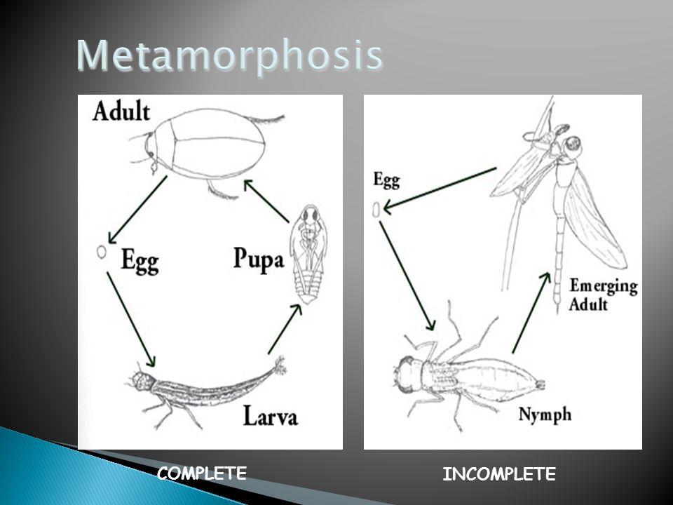 Metamorphosis COMPLETE INCOMPLETE copyright cmassengale