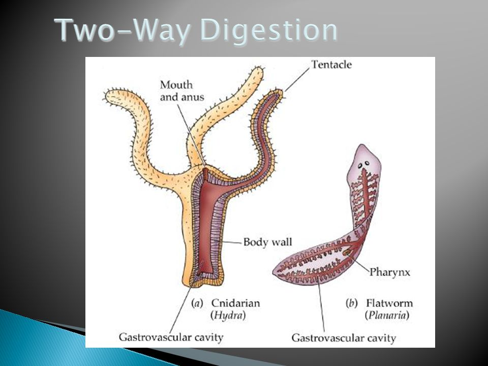 Two-Way Digestion copyright cmassengale