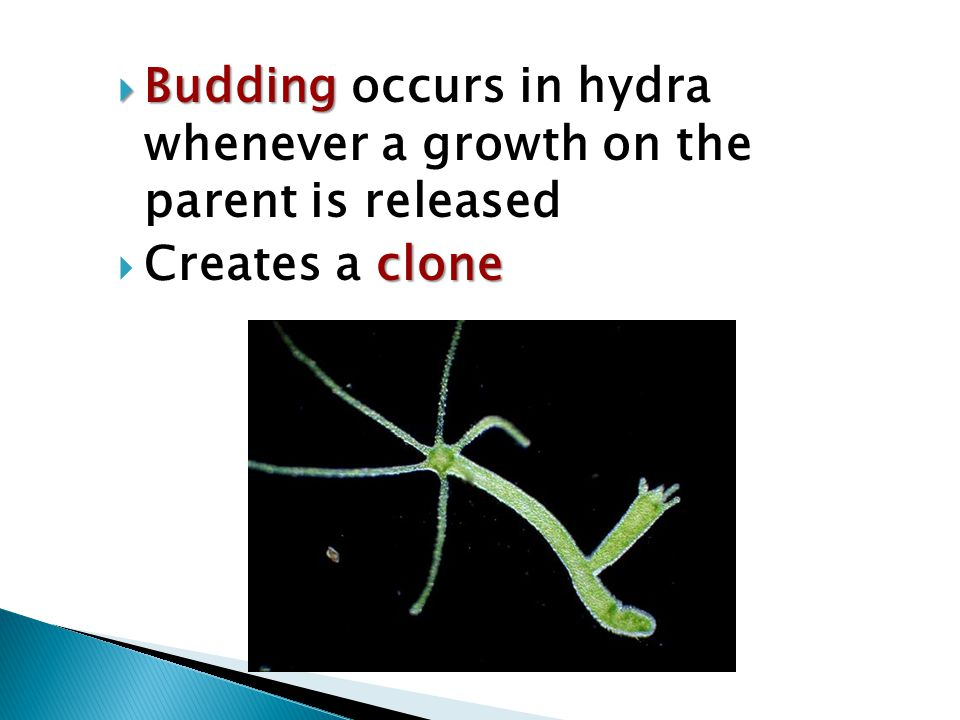 Budding occurs in hydra whenever a growth on the parent is released