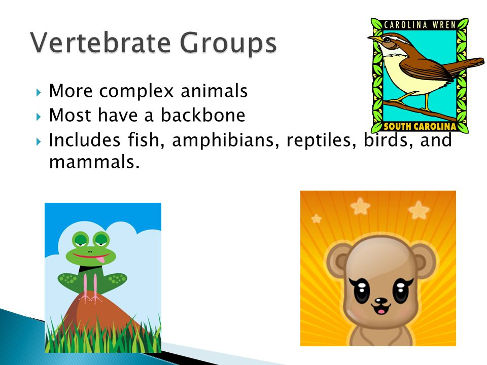 Vertebrate Groups More complex animals Most have a backbone