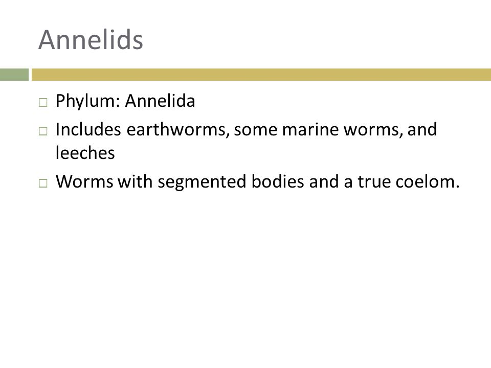 Annelids Phylum: Annelida