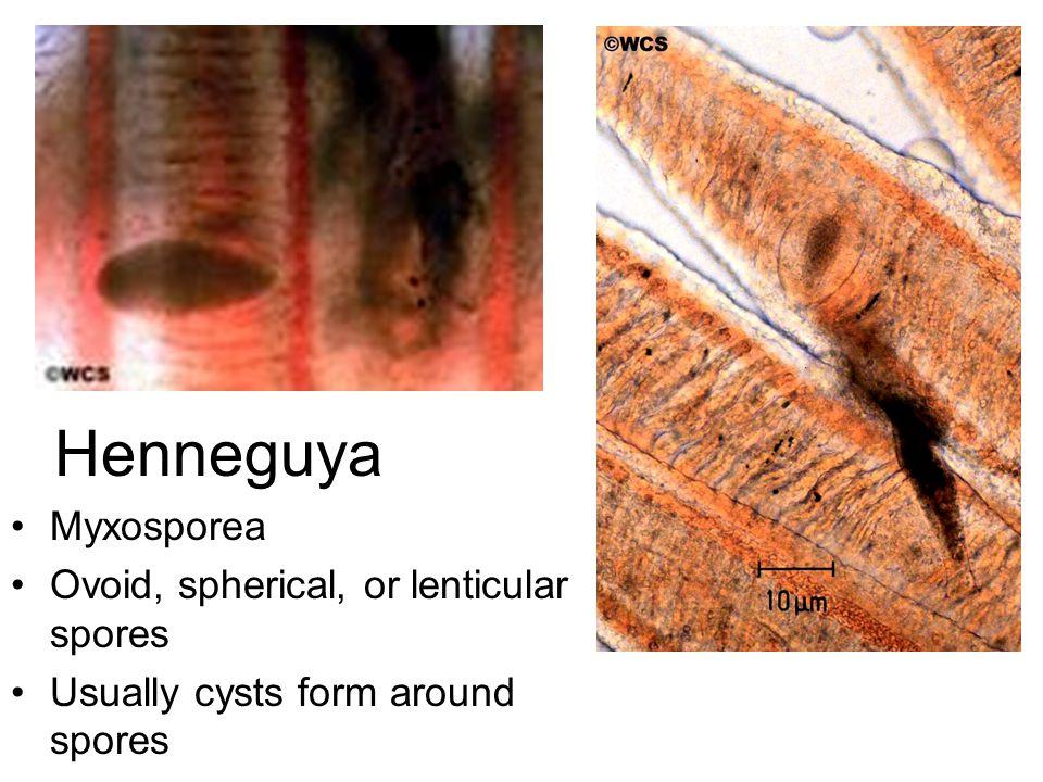 Henneguya Myxosporea Ovoid, spherical, or lenticular spores