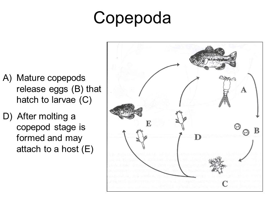 Copepoda Mature copepods release eggs (B) that hatch to larvae (C)