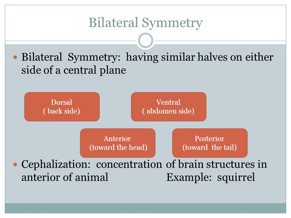 Bilateral Symmetry Bilateral Symmetry: having similar halves on either side of a central plane.