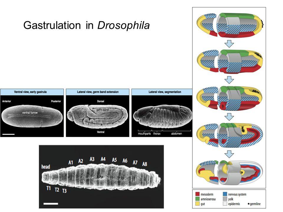Gastrulation in Drosophila