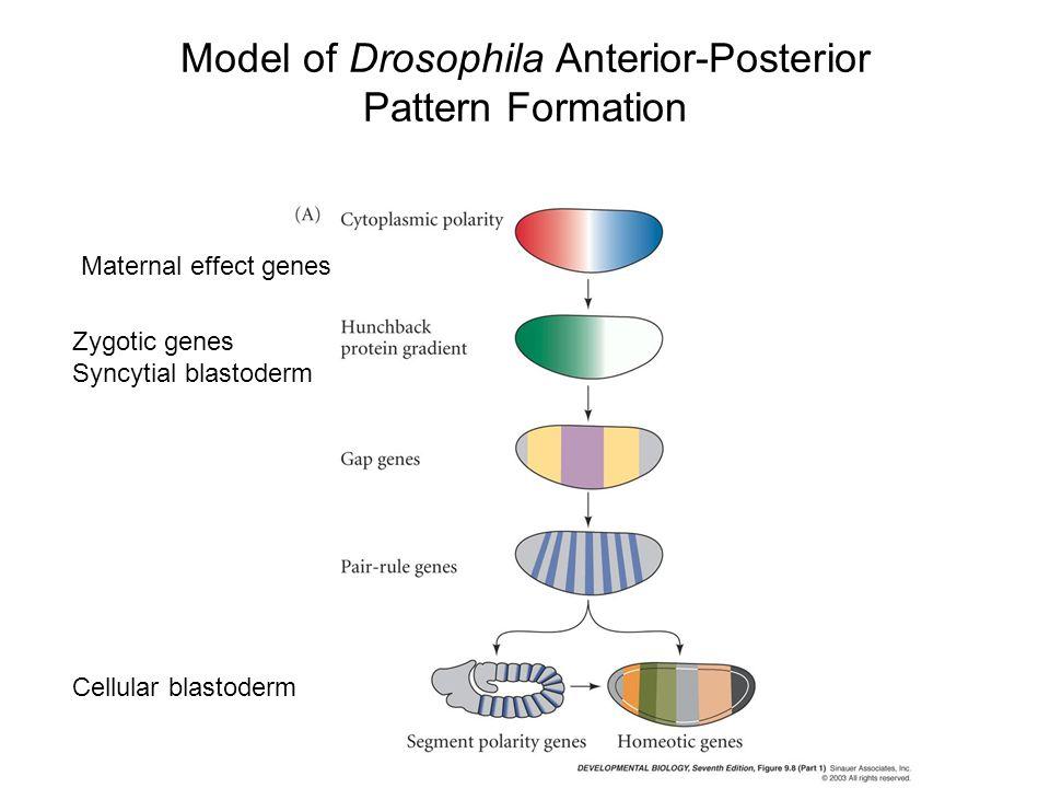 Model of Drosophila Anterior-Posterior Pattern Formation